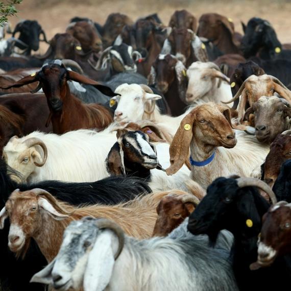 עזים ארצישראליות