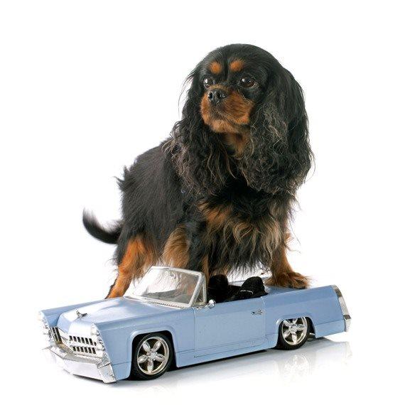 כלב מוכנית אוטו