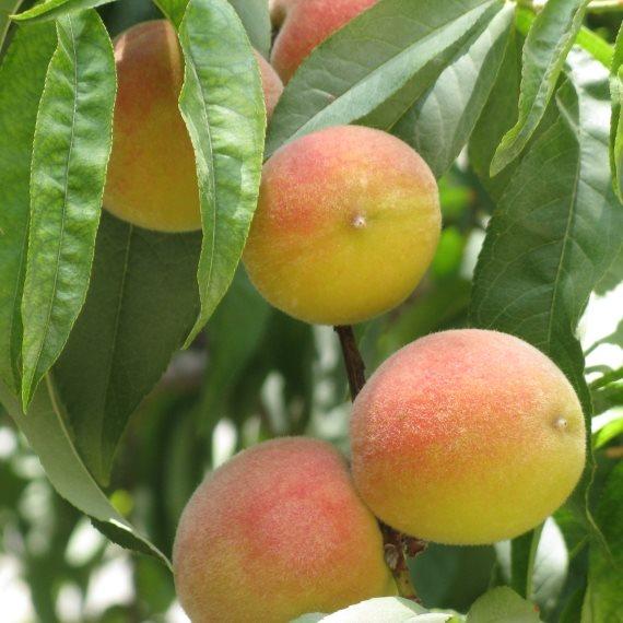 עץ אפרסקים