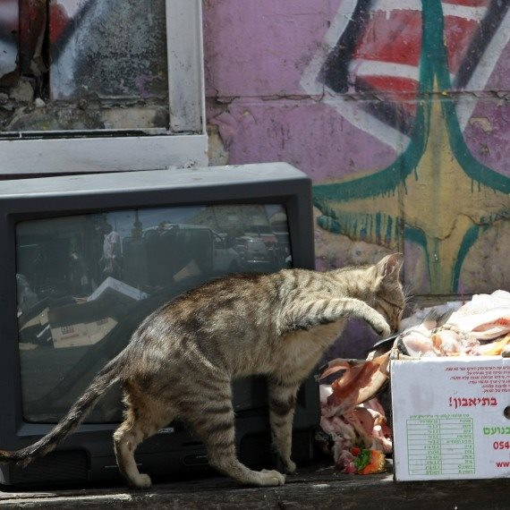 חתול רחוב, אילוסטצריה