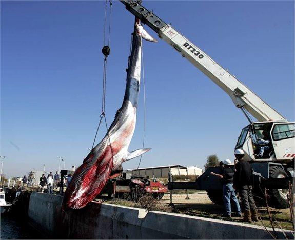ציד לווייתנים