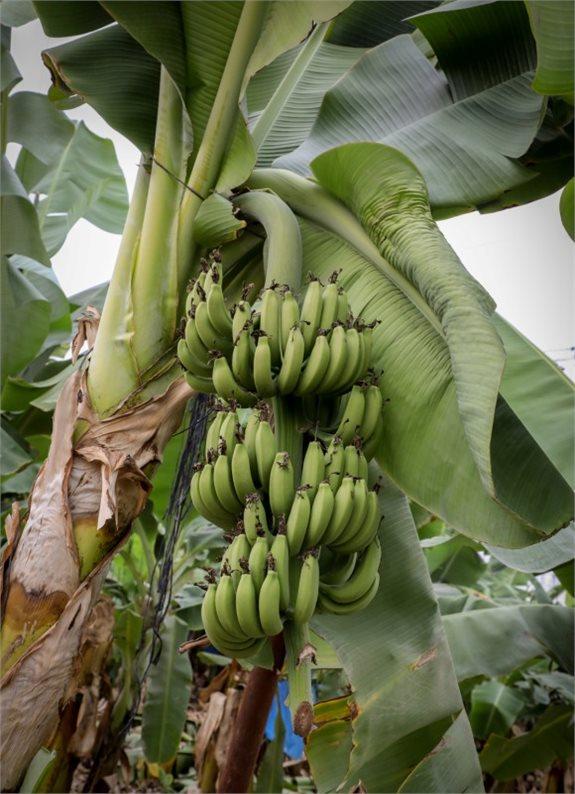 כאן, הבננות עדיין לא הבשילו