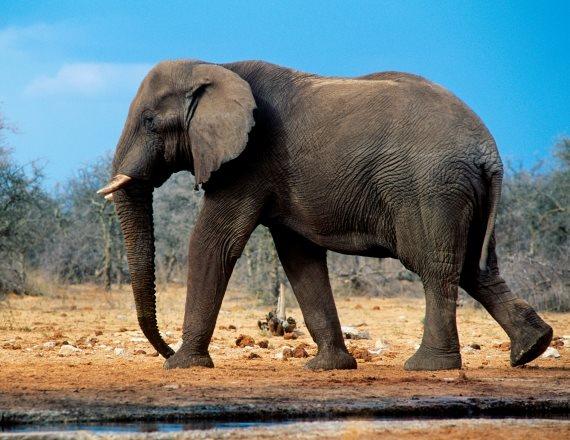 הפיל האפריקאי
