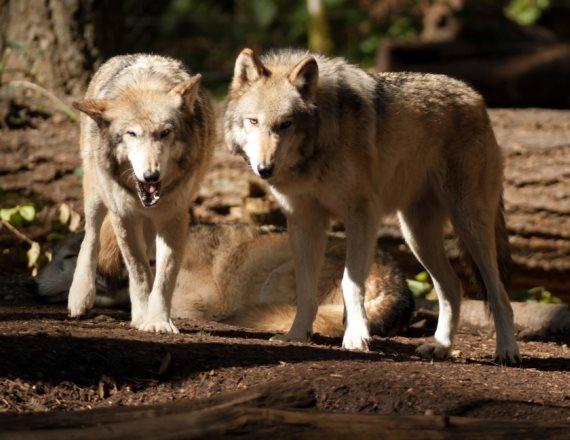 לזאבים המצולמים אין קשר לנאמר