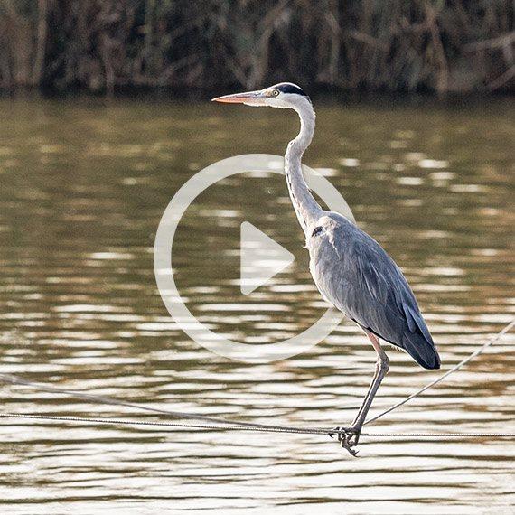 ציפורים בבריכת הדגים שבקיבוץ מעגן מיכאל