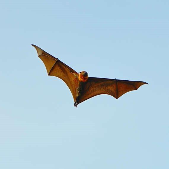 על נגיפים ועטלפים