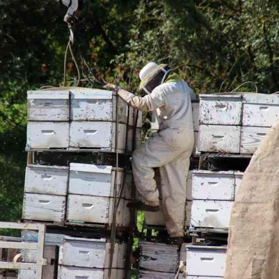 נאבקים בדבורים (למצולם אין קשר לכתבה)