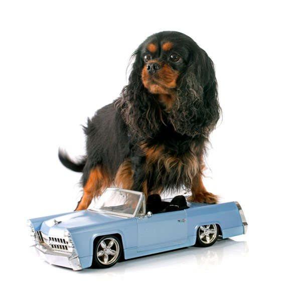 כלב שיודע לנהוג