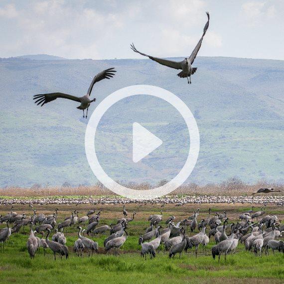 ציפורים בעמק החולה