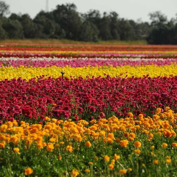 שדה פרחים (ארכיון)