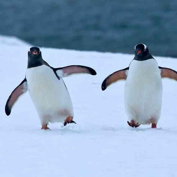 צמד פינגווינים