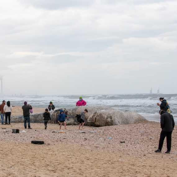 הלוויתן שנפלט לחוף