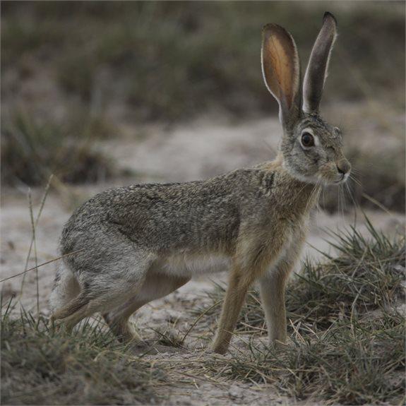 מחפשים אחר הארנב הבריטי. למצולם אין קשר לנאמר