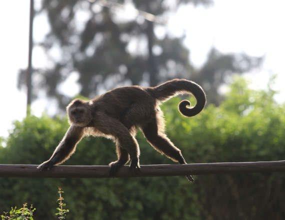 לקוף אין קשר לנאמר