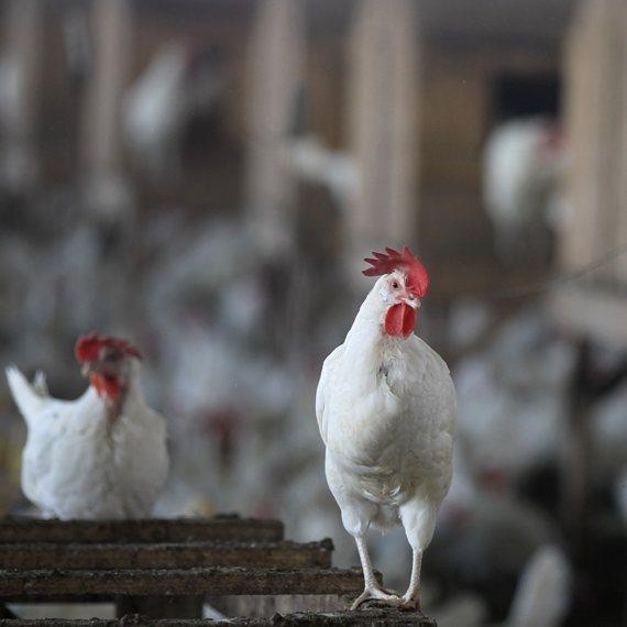 מחאת מגדלי העופות ויצרני הביצים