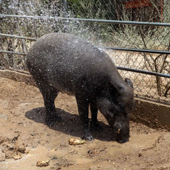 חזירים למען בני האדם. למצולם אין קשר לנאמר